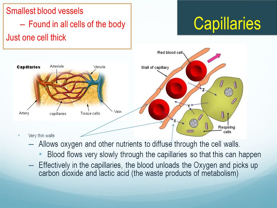 Capillaries Very thin walls – Allows oxygen and other nutrients to diffuse through the cell walls. Blood flows very slowly through the capillaries so