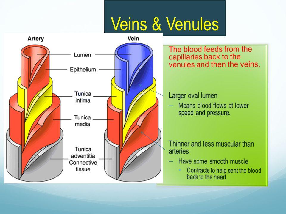Veins & Venules