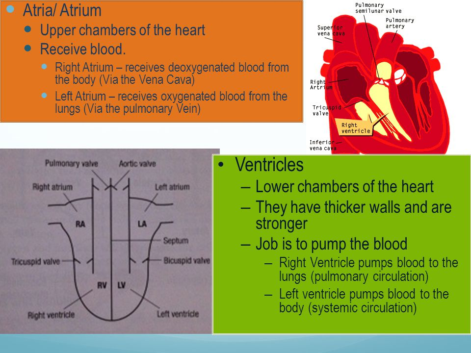 5 main blood vessels Arteries – Arterioles Capillaries – Venules Veins Carry blood away from the heart Where gas exchange takes place Carry blood back to the heart