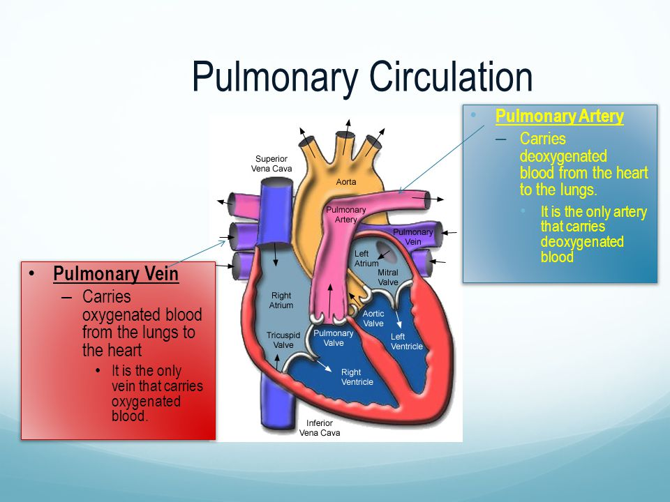 Pulmonary Circulation Pulmonary Artery – Carries deoxygenated blood from the heart to the lungs. It is the only artery that carries deoxygenated blood