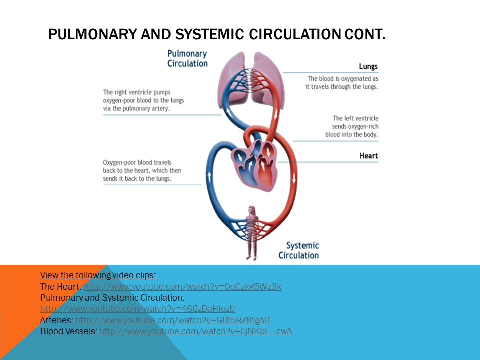 PULMONARY AND SYSTEMIC CIRCULATION CONT. View the following video clips: The Heart: http://www.youtube.com/watch?v=OqCzkg5Wz3khttp://www.youtube.com/w
