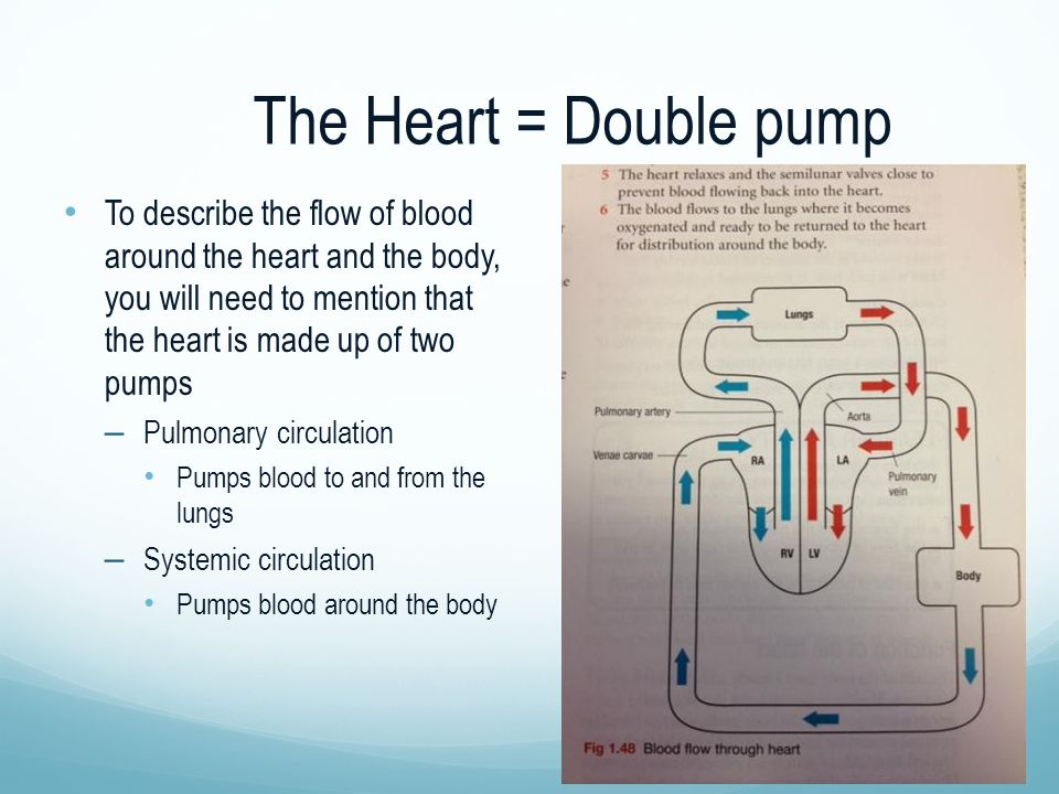 The Heart = Double pump To describe the flow of blood around the heart and the body, you will need to mention that the heart is made up of two pumps –