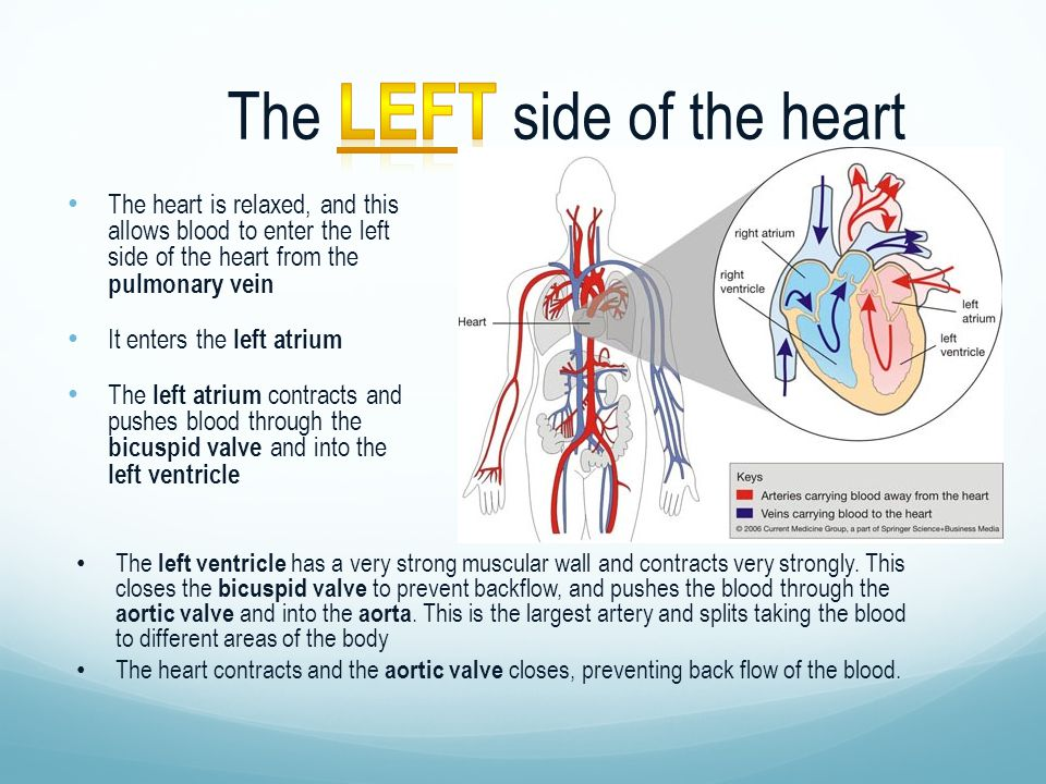 The heart is relaxed, and this allows blood to enter the left side of the heart from the pulmonary vein It enters the left atrium The left atrium contracts and pushes blood through the bicuspid valve and into the left ventricle The left ventricle has a very strong muscular wall and contracts very strongly.
