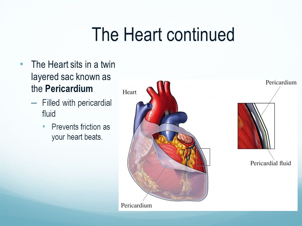 The Heart continued The Heart sits in a twin layered sac known as the Pericardium – Filled with pericardial fluid Prevents friction as your heart beat