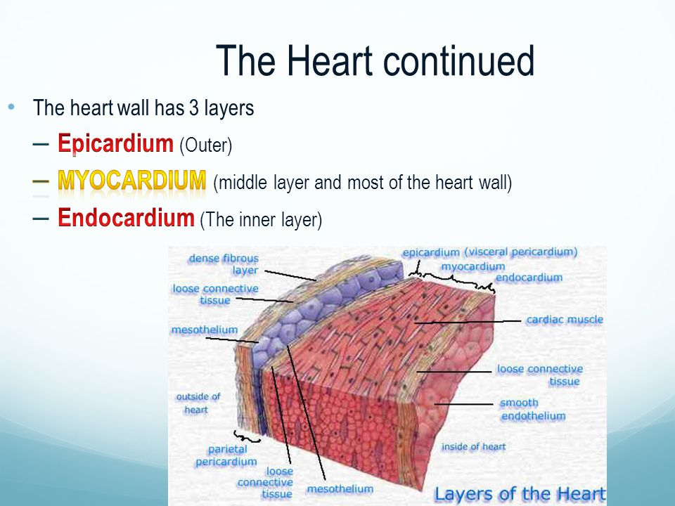 The Heart continued
