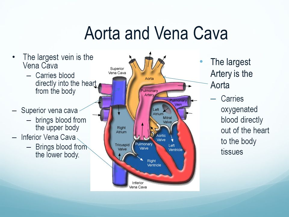 Aorta and Vena Cava The largest Artery is the Aorta – Carries oxygenated blood directly out of the heart to the body tissues The largest vein is the Vena Cava – Carries blood directly into the heart from the body – Superior vena cava – brings blood from the upper body – Inferior Vena Cava – Brings blood from the lower body.