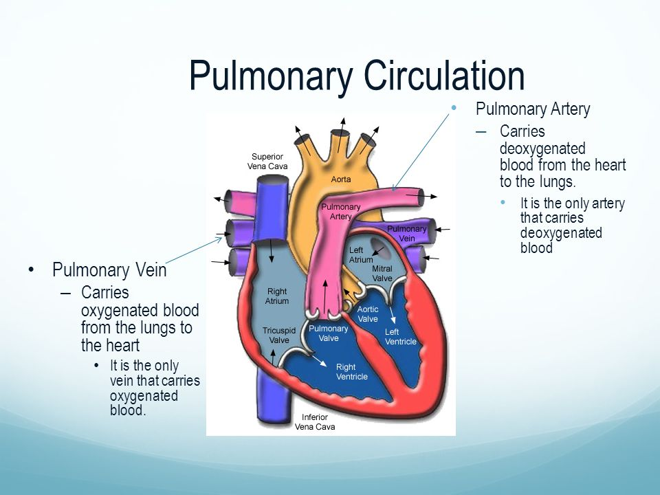 Pulmonary Circulation Pulmonary Artery – Carries deoxygenated blood from the heart to the lungs.