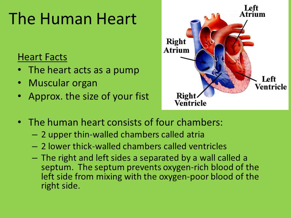 The Human Heart Heart Facts The heart acts as a pump Muscular organ Approx.