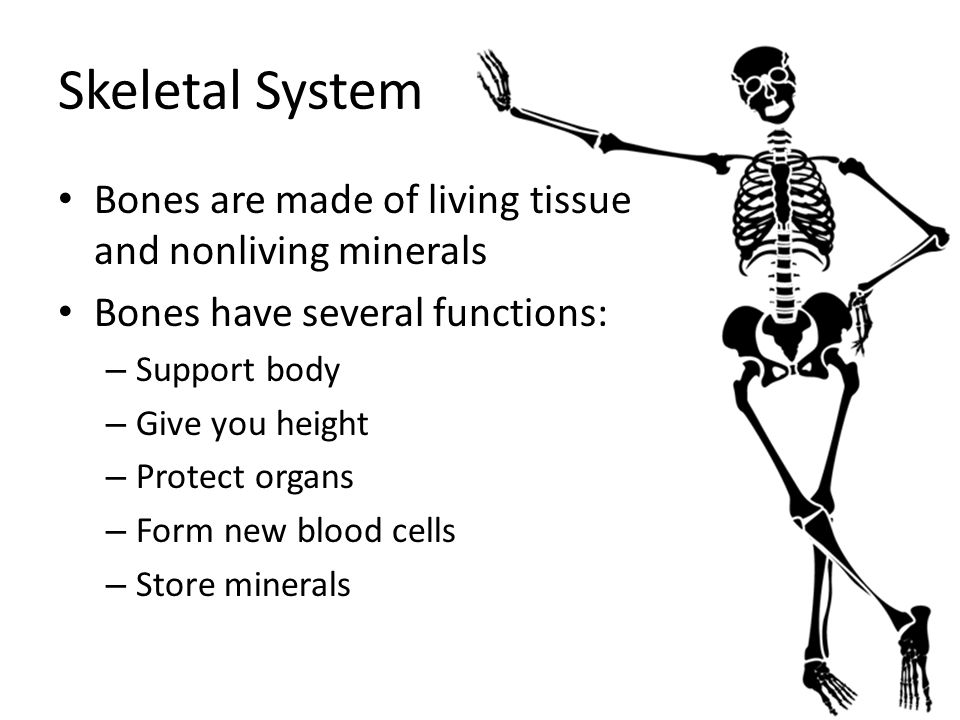 Bones are made of living tissue and nonliving minerals Bones have several functions: – Support body – Give you height – Protect organs – Form new bloo