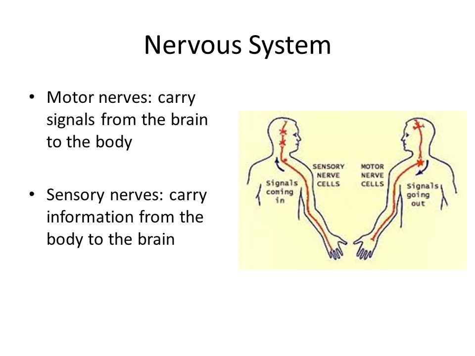 Nervous System Motor nerves: carry signals from the brain to the body Sensory nerves: carry information from the body to the brain