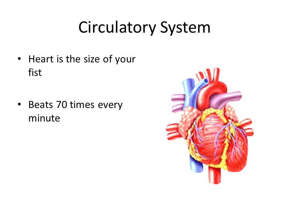 Circulatory System Heart is the size of your fist Beats 70 times every minute