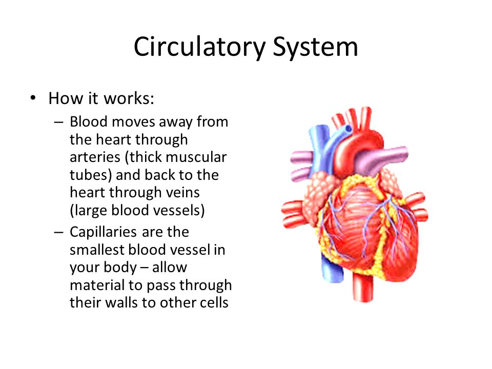 Circulatory System How it works: – Blood moves away from the heart through arteries (thick muscular tubes) and back to the heart through veins (large