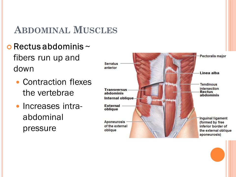 A BDOMINAL M USCLES Rectus abdominis ~ fibers run up and down Contraction flexes the vertebrae Increases intra- abdominal pressure