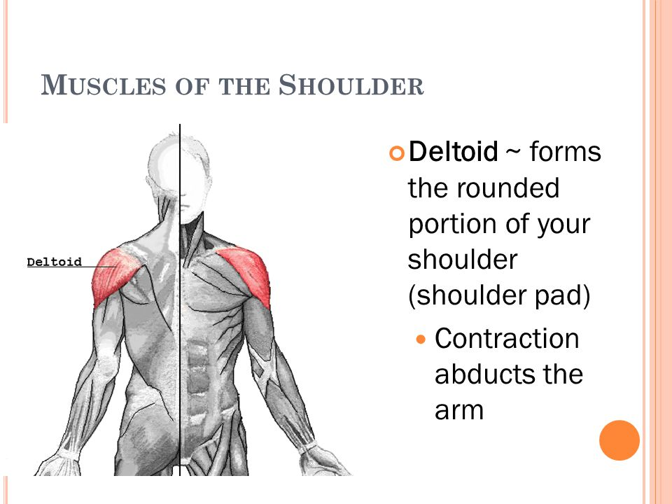 M USCLES OF THE S HOULDER Deltoid ~ forms the rounded portion of your shoulder (shoulder pad) Contraction abducts the arm