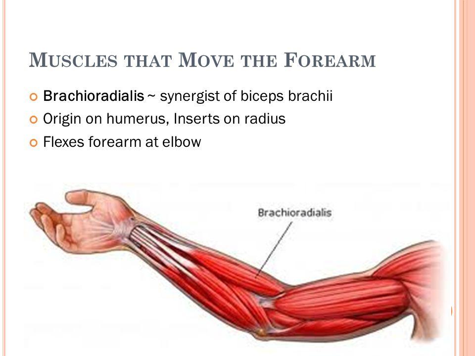 M USCLES THAT M OVE THE F OREARM Brachioradialis ~ synergist of biceps brachii Origin on humerus, Inserts on radius Flexes forearm at elbow