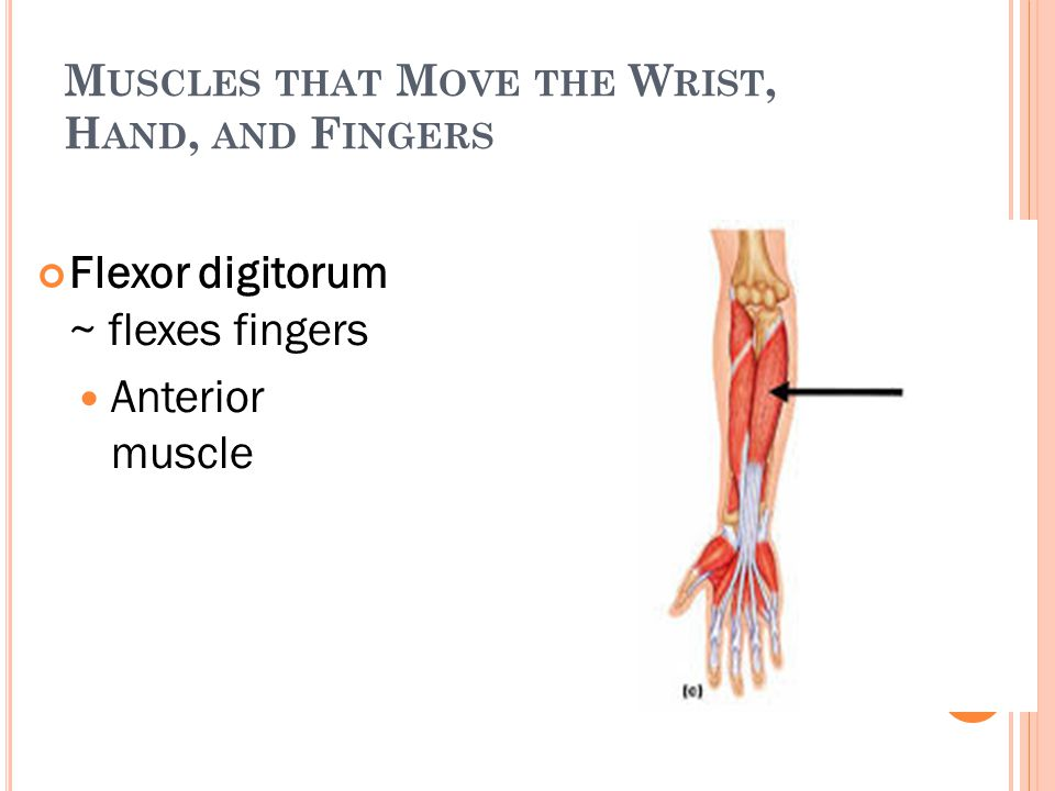M USCLES THAT M OVE THE W RIST, H AND, AND F INGERS Flexor digitorum ~ flexes fingers Anterior muscle