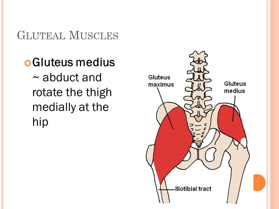 G LUTEAL M USCLES Gluteus medius ~ abduct and rotate the thigh medially at the hip