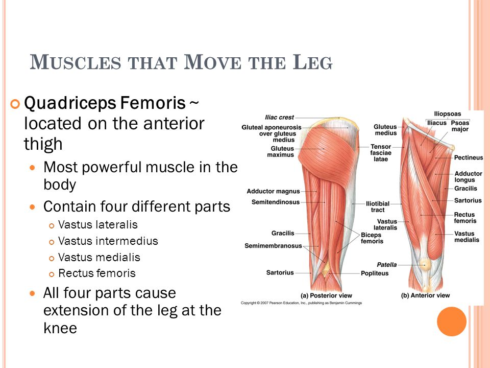 M USCLES THAT M OVE THE L EG Quadriceps Femoris ~ located on the anterior thigh Most powerful muscle in the body Contain four different parts Vastus l
