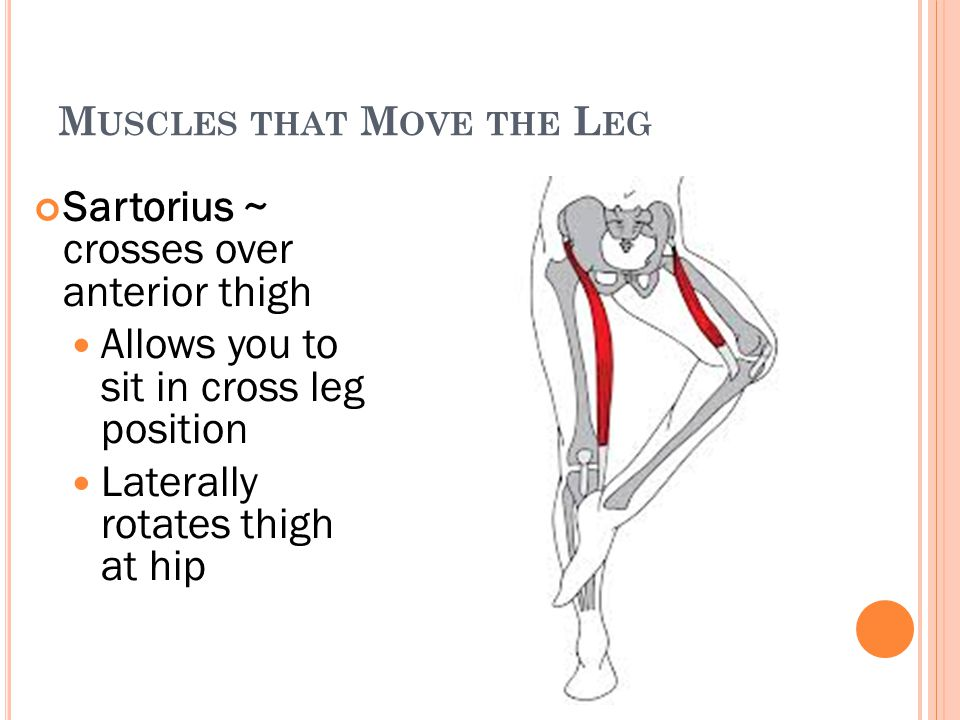 M USCLES THAT M OVE THE L EG Sartorius ~ crosses over anterior thigh Allows you to sit in cross leg position Laterally rotates thigh at hip