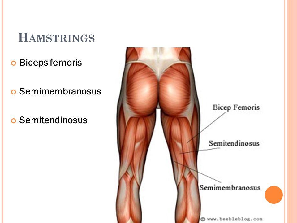 H AMSTRINGS Biceps femoris Semimembranosus Semitendinosus