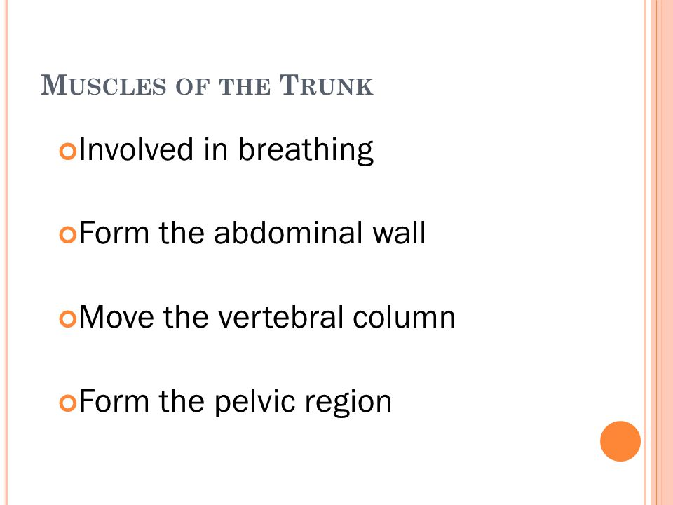 M USCLES OF THE T RUNK Involved in breathing Form the abdominal wall Move the vertebral column Form the pelvic region