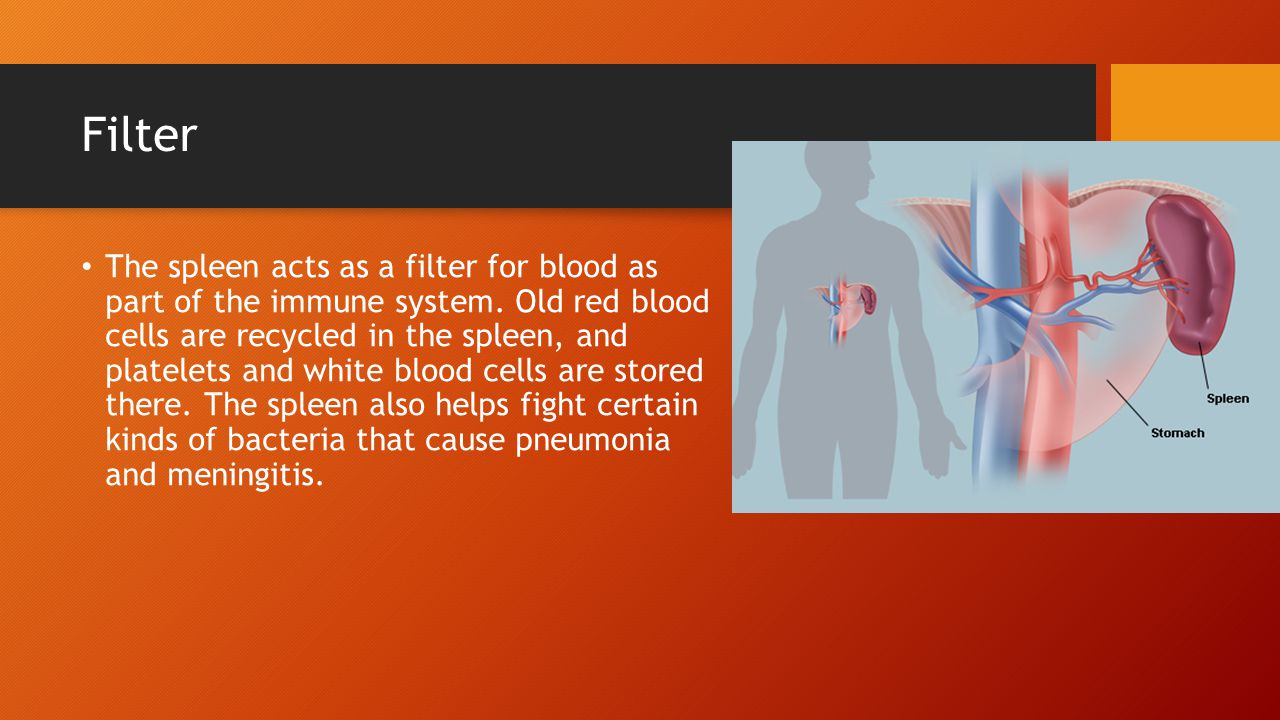 Filter The spleen acts as a filter for blood as part of the immune system.