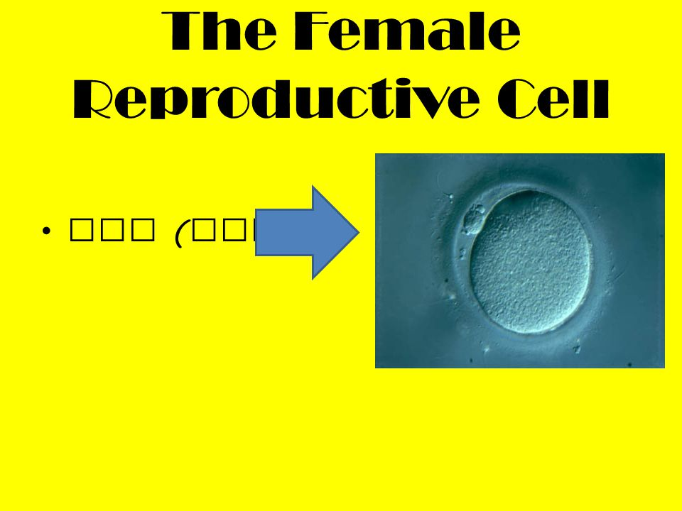 Produce the female reproduct ive cell, egg / ovum The follicles in the ovaries produce the female sex hormones, progester one and estrogen These hormones prepare the uterus for implantat ion for the fertilize d egg Ovaries