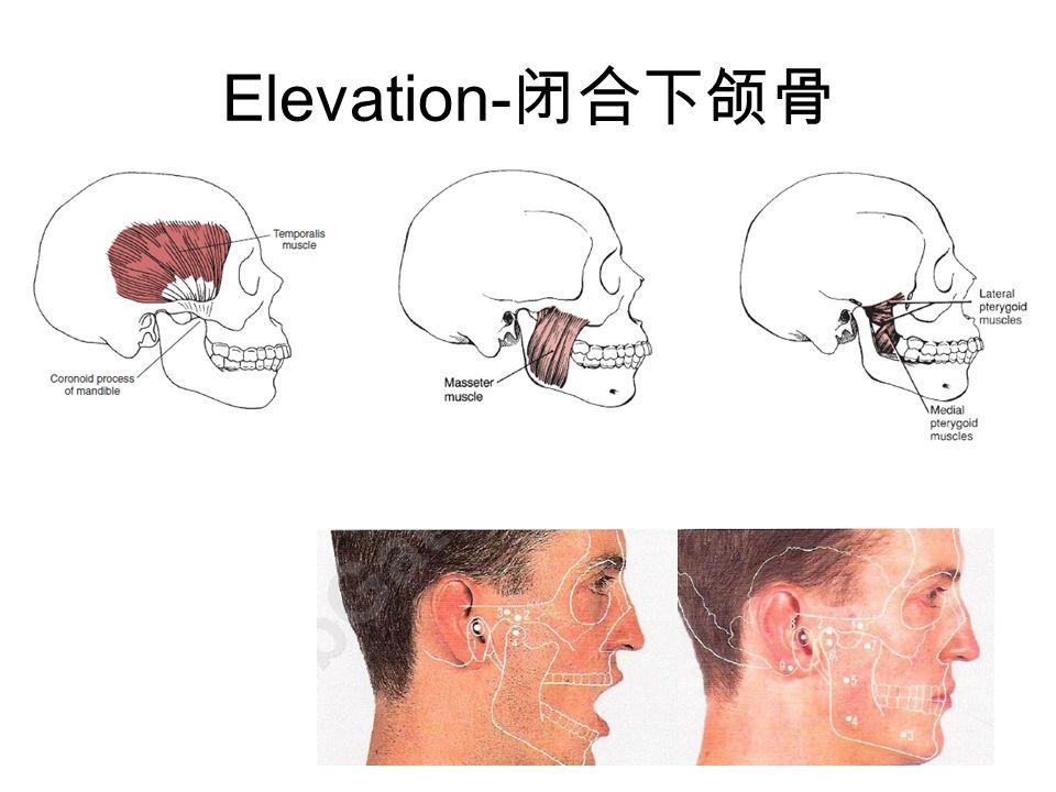 Elevation- 闭合下颌骨