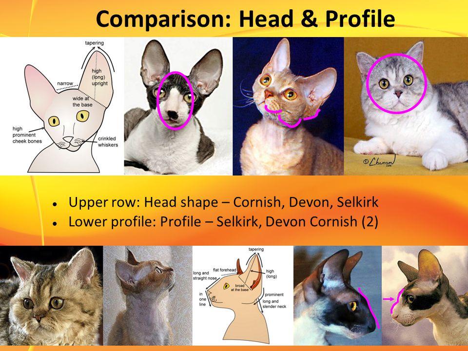 Comparison: Head & Profile Upper row: Head shape – Cornish, Devon, Selkirk Lower profile: Profile – Selkirk, Devon Cornish (2)