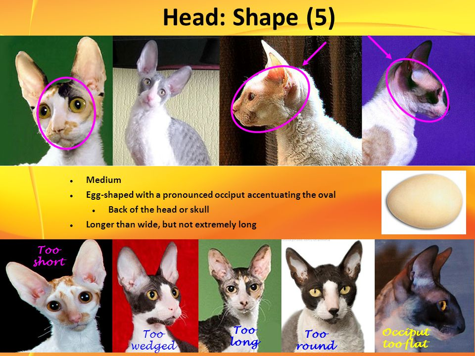 Head: Shape (5) Medium Egg-shaped with a pronounced occiput accentuating the oval Back of the head or skull Longer than wide, but not extremely long Too short Too wedged Too long Too round Occiput too flat