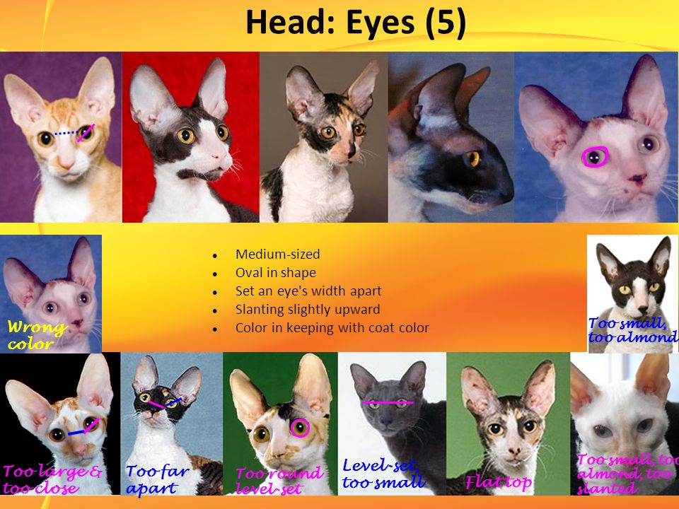 Head: Eyes (5) Medium-sized Oval in shape Set an eye s width apart Slanting slightly upward Color in keeping with coat color Wrong color Too large & too close Too far apart Too round level-set Level-set, too small Flat top Too small, too almond, too slanted Too small, too almond