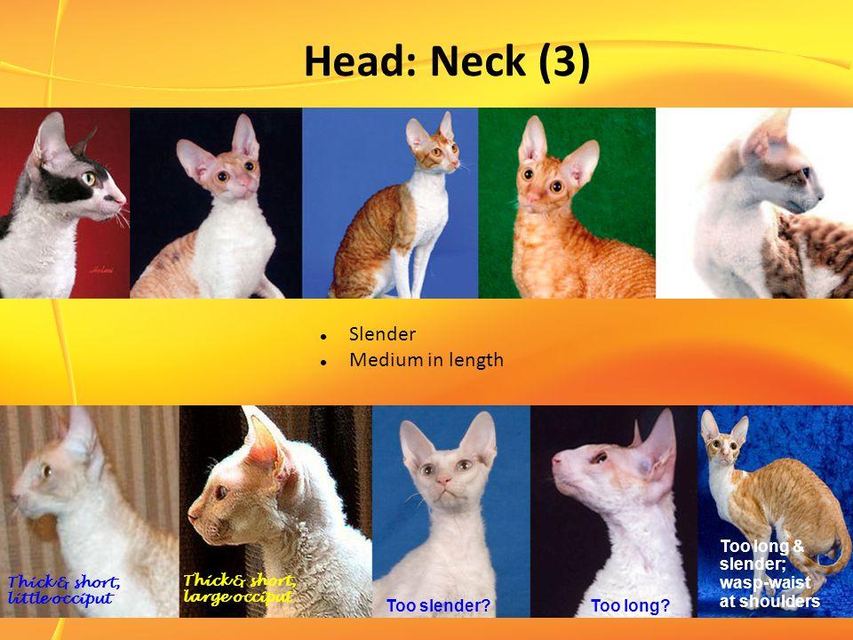 Head: Neck (3) Slender Medium in length Too long & slender; wasp-waist at shoulders Thick & short, little occiput Thick & short, large occiput Too slender?Too long?