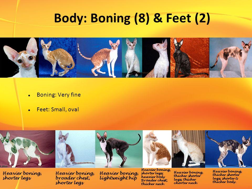 Body: Boning (8) & Feet (2) Boning: Very fine Feet: Small, oval Heavier boning, shorter legs; heavier body Broader chest; thicker neck.