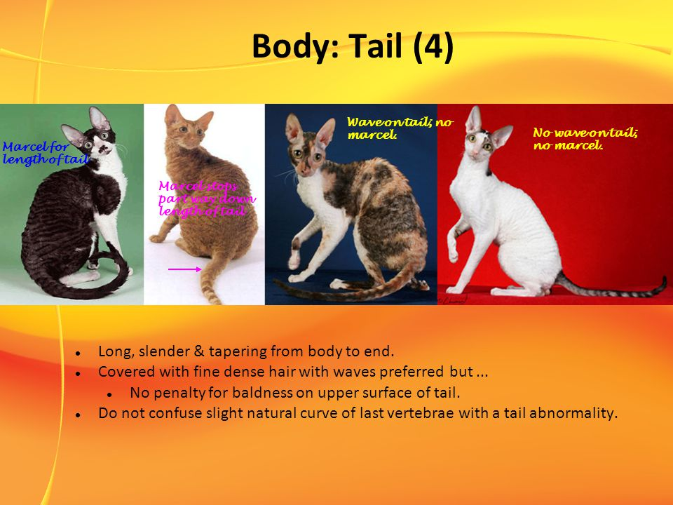 Body: Tail (4) Long, slender & tapering from body to end.