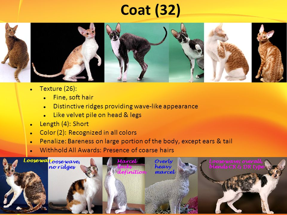 Coat (32) Texture (26): Fine, soft hair Distinctive ridges providing wave-like appearance Like velvet pile on head & legs Length (4): Short Color (2): Recognized in all colors Penalize: Bareness on large portion of the body, except ears & tail Withhold All Awards: Presence of coarse hairs Loose wave Loose wave, no ridges Loose wave; overall, blends CR & DR type Marcel lacks definition Overly heavy marcel