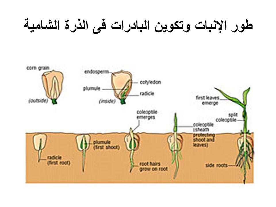 طور الإنبات وتكوين البادرات فى الذرة الشامية