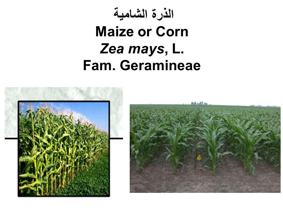 الذرة الشامية Maize or Corn Zea mays, L. Fam. Geramineae
