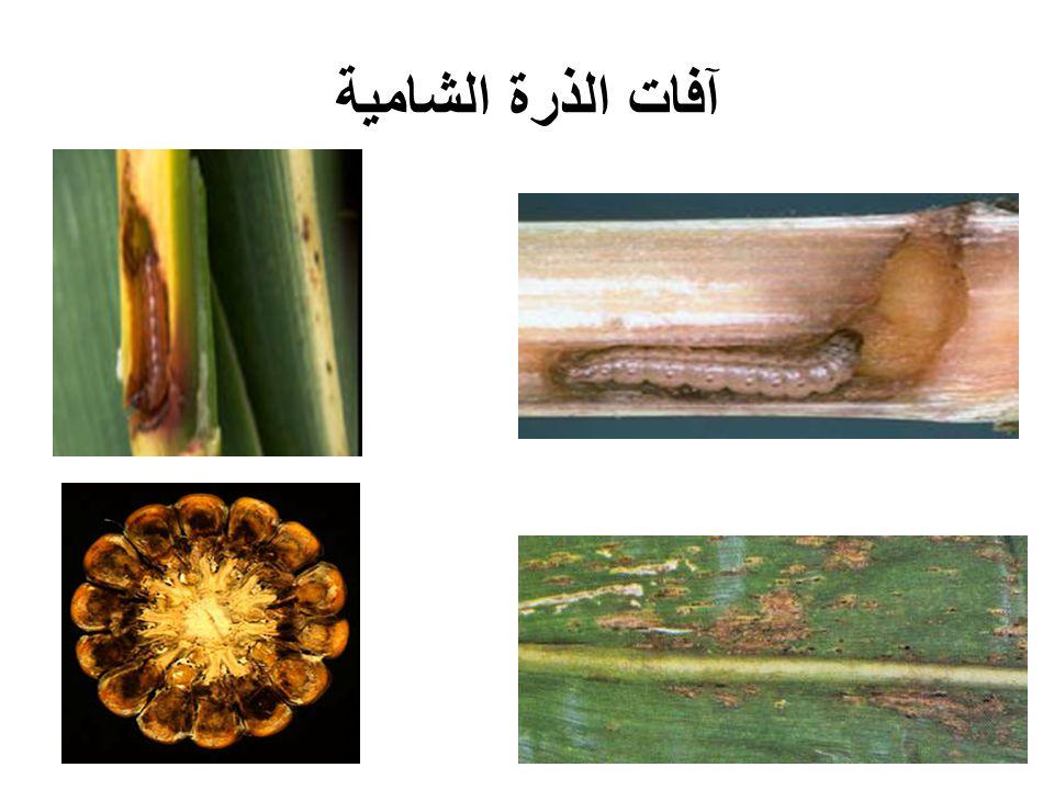 آفات الذرة الشامية