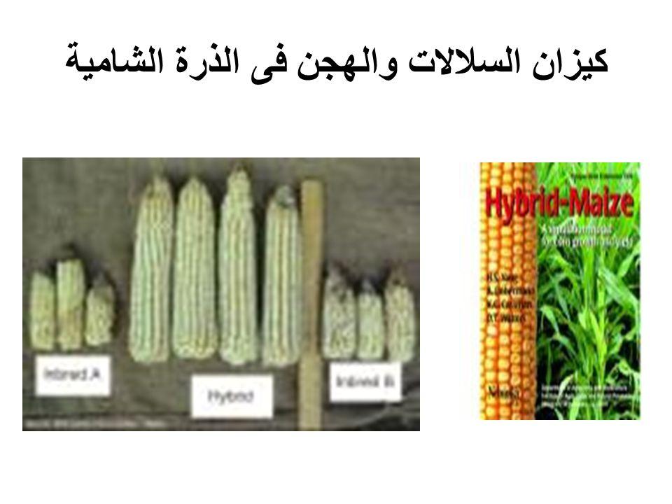كيزان السلالات والهجن فى الذرة الشامية