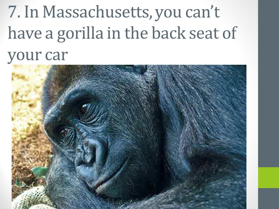 7. In Massachusetts, you can't have a gorilla in the back seat of your car