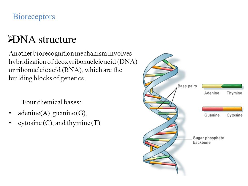 Four chemical bases: adenine(A), guanine (G), cytosine (C), and thymine (T) Bioreceptors  DNA structure Another biorecognition mechanism involves hyb