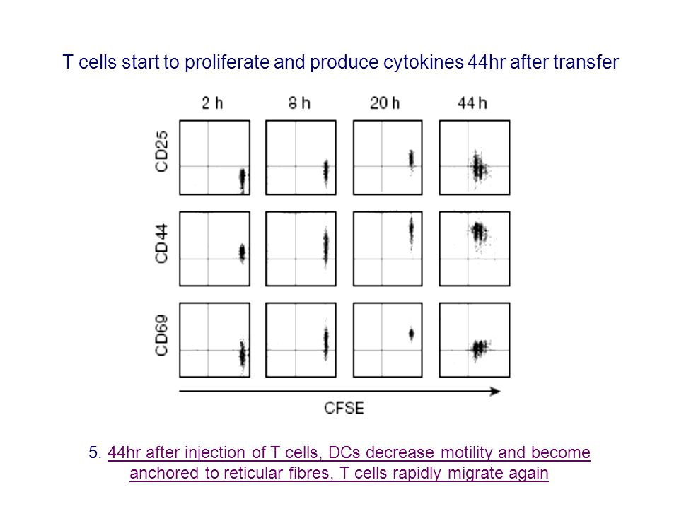 5. 44hr after injection of T cells, DCs decrease motility and become anchored to reticular fibres, T cells rapidly migrate again44hr after injection o