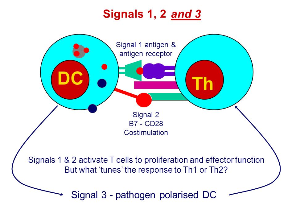 Signals 1, 2 DC Th Signal 1 antigen & antigen receptor Signal 2 B7 - CD28 Costimulation and 3 Signals 1 & 2 activate T cells to proliferation and effector function But what 'tunes' the response to Th1 or Th2.