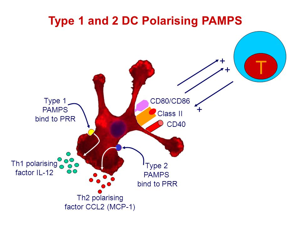 CD40 + CD80/CD86 Type 1 and 2 DC Polarising PAMPS Type 1 PAMPS bind to PRR Class II Type 2 PAMPS bind to PRR Th1 polarising factor IL-12 Th2 polarising factor CCL2 (MCP-1) T + +