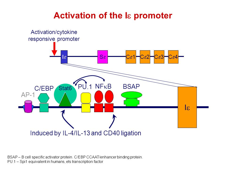 Stat6 II C1C1C2C2C3C3C4C4SS II NF  B C/EBP PU.1 BSAP AP-1 BSAP – B cell specific activator protein.