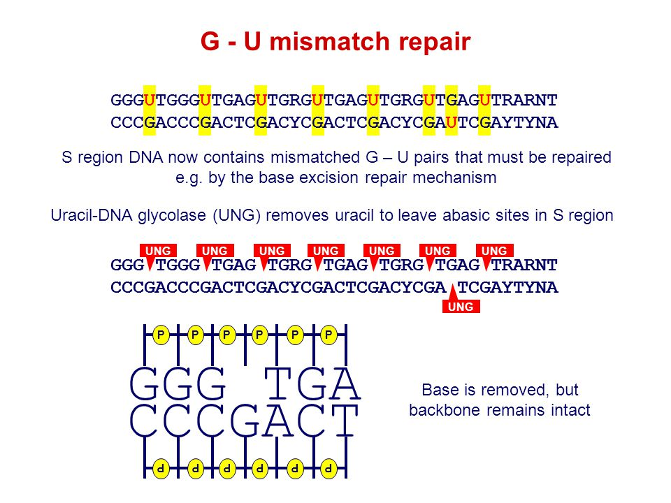 GGGUTGA CCCGACT GGGUTGA CCCGACT S region DNA now contains mismatched G – U pairs that must be repaired e.g. by the base excision repair mechanism GGGU