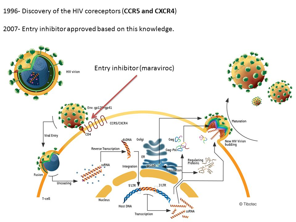 Entry inhibitor (maraviroc) 1996- Discovery of the HIV coreceptors (CCR5 and CXCR4) 2007- Entry inhibitor approved based on this knowledge.