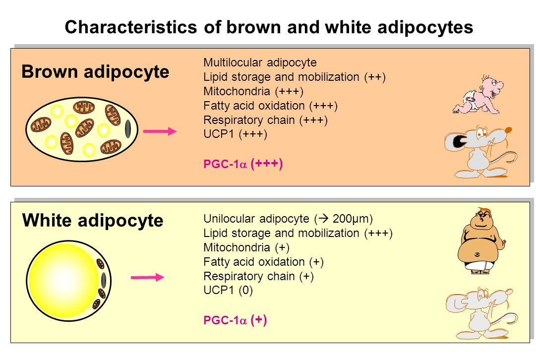 Characteristics of brown and white adipocytes White adipocyte Unilocular adipocyte (  200µm) Lipid storage and mobilization (+++) Mitochondria (+) Fa