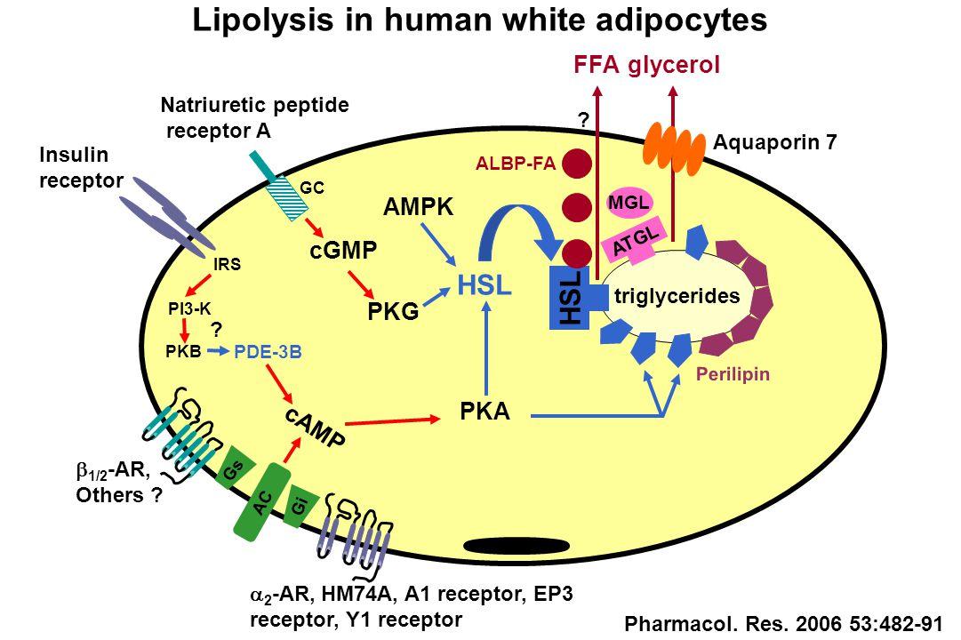 cAMP  2 -AR, HM74A, A1 receptor, EP3 receptor, Y1 receptor PKA Perilipin PDE-3B FFA  1/2 -AR, Others .