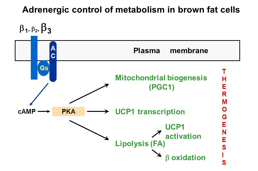  1,  2,  3 cAMPPKA ACAC Gs Plasma membrane Mitochondrial biogenesis (PGC1) UCP1 transcription Lipolysis (FA) UCP1 activation  oxidation THERMOGENESISTHERMOGENESIS Adrenergic control of metabolism in brown fat cells